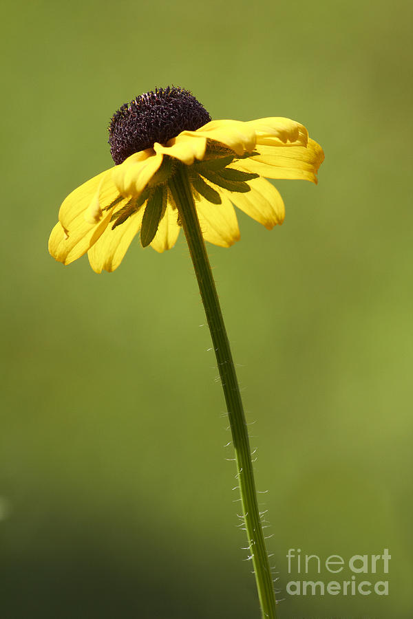 Black-eyed Susan Photograph