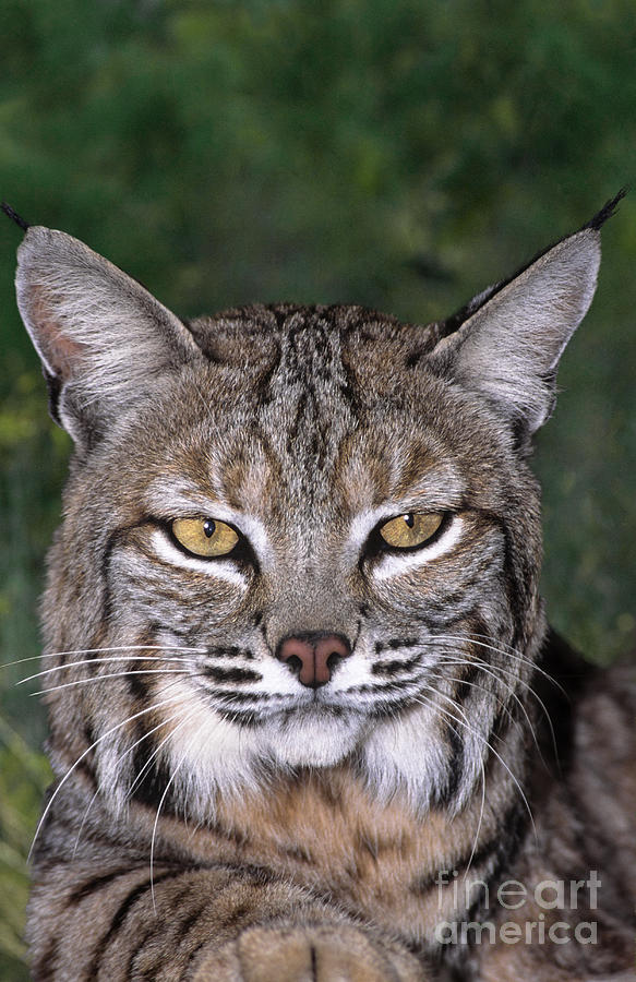 Bobcat Portrait Wildlife Rescue Photograph