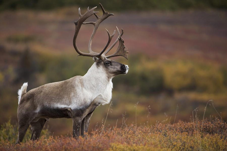 Bull Caribou On Autumn Tundra In Denali Photograph by Milo ...