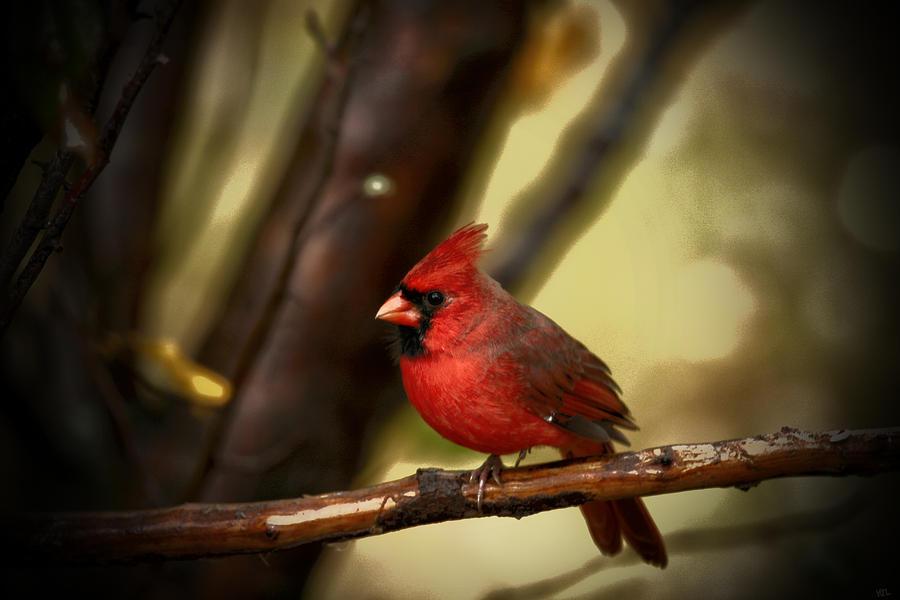 Red Cardinal Photograph - Cardinal Pose by Karol Livote