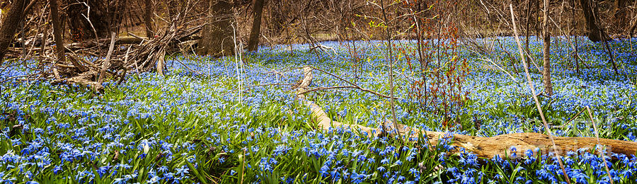 Carpet Of Blue Flowers In Spring Forest Photograph  - Carpet Of Blue Flowers In Spring Forest Fine Art Print