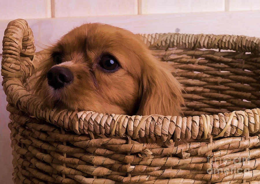 Cavalier King Charles Spaniel Puppy In Basket Photograph  - Cavalier King Charles Spaniel Puppy In Basket Fine Art Print