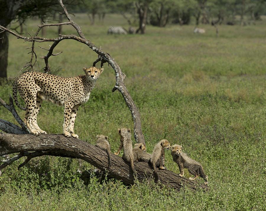 Cheetah Photograph - Cheetah  Acinonyx Jubatus by Carol Gregory