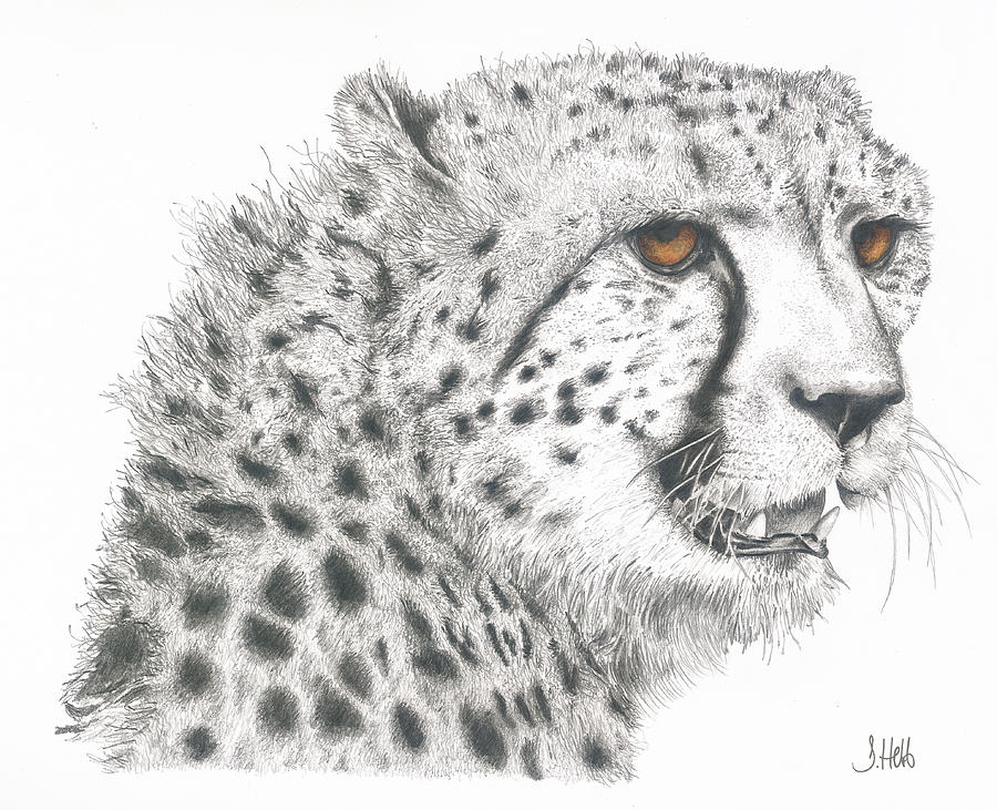 Cheetah Glory Drawing