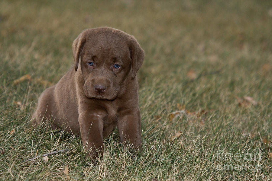 Chocolate Labrador Puppy Photograph