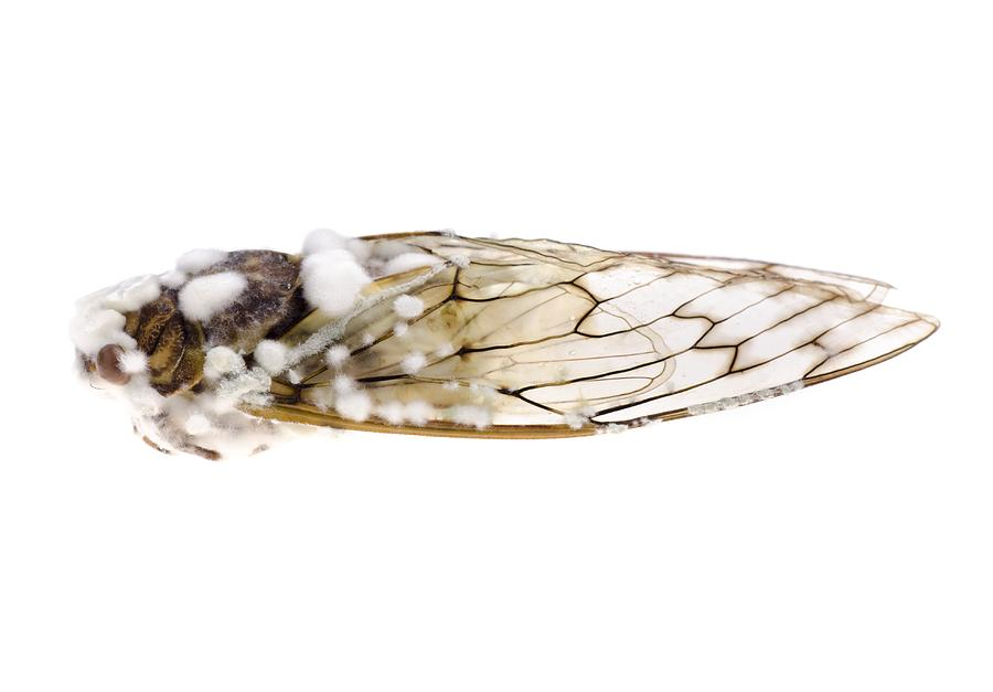 Animal Photograph - Cicada Infected With Fungus by Science Photo Library