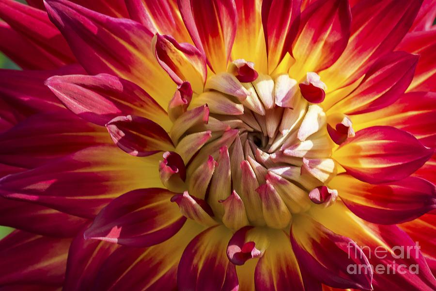 Dahlia Photograph - Colorful Dahlia Flower by Michael Shake