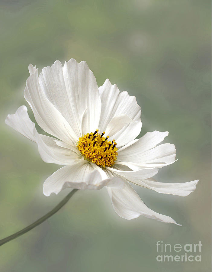 Cosmos Flower In White Photograph  - Cosmos Flower In White Fine Art Print