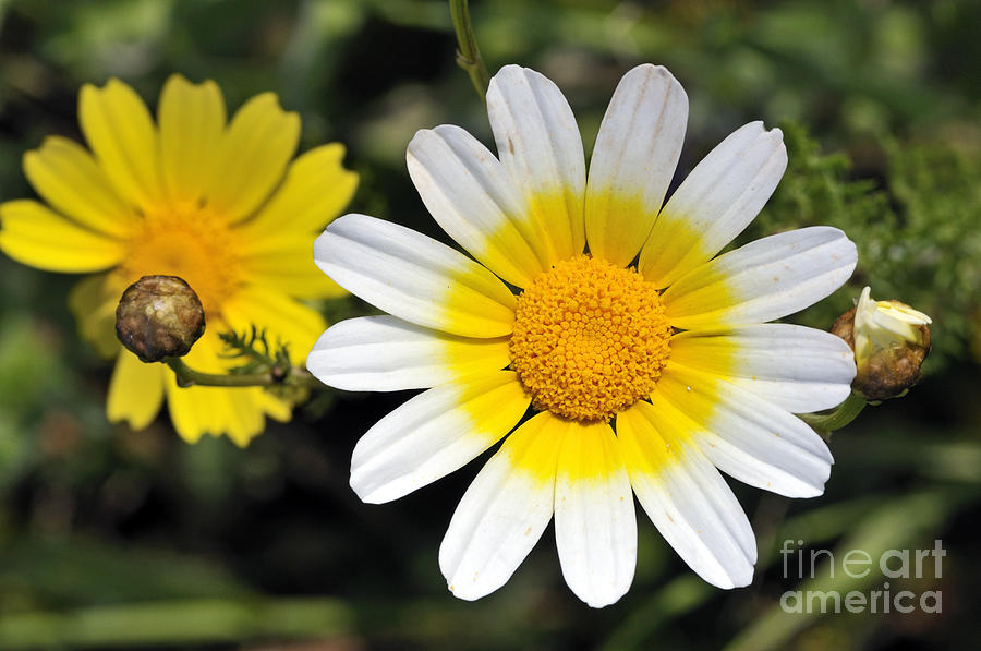 Chrysanthemum Coronarium; Glebionis Coronaria; Crown Daisy; Daisy; Daisies; White; Yellow; Flower; Wild; Plant; Spring; Print; Photograph; Photography; Springtime; Season; Nature; Natural; Natural Environment; Natural World; Flora; Bloom; Blooming; Blossom; Blossoming; Color; Colour; Colorful; Colourful; Earth; Environment; Ecological; Ecology; Country; Landscape; Countryside; Scenery; Macro; Close-up; Detail; Details; Esthetic; Esthetics; Artistic; Flowers Photograph - Crown Daisy Flower by George Atsametakis