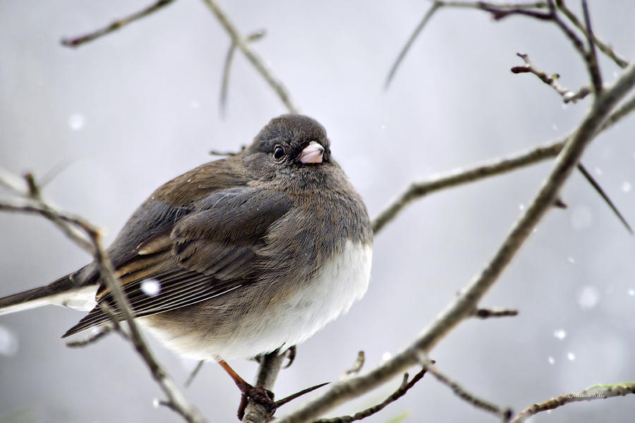 Dark-eyed Junco Photograph  - Dark-eyed Junco Fine Art Print