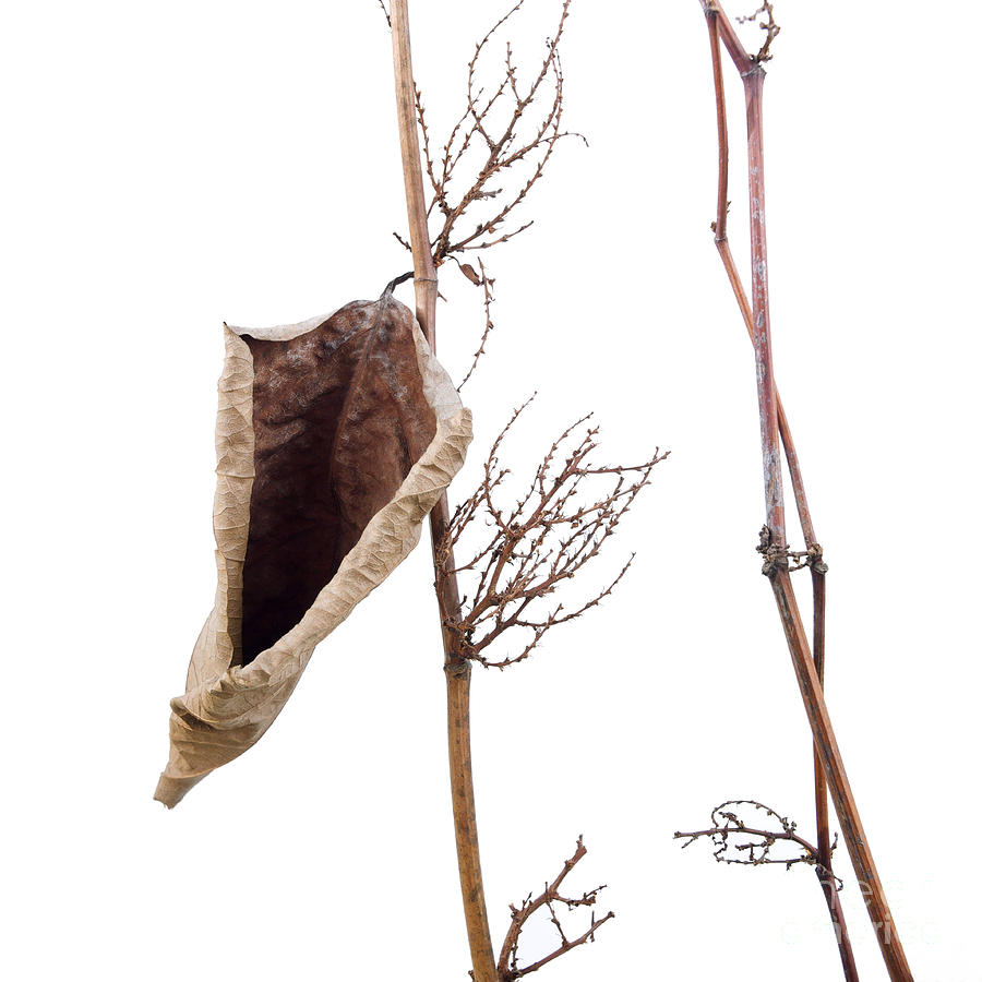 Studio Shot Photograph - Fallopia Japonica by Bernard Jaubert