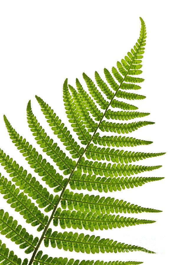 Fern Leaf Photograph