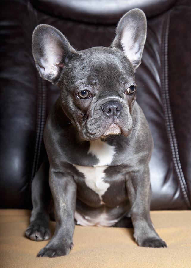 French Bulldog Photograph  - French Bulldog Fine Art Print