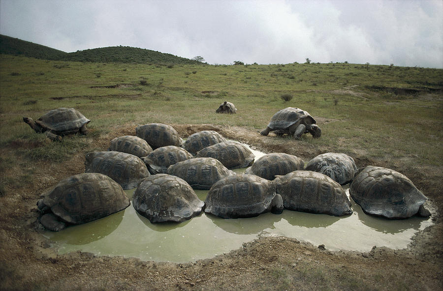 Feb0514 Photograph - Galapagos Giant Tortoises Wallowing by Tui De Roy