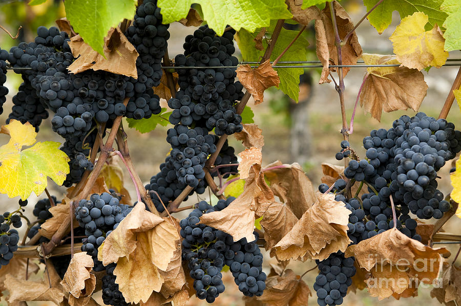 Gamay Noir Grapes Photograph