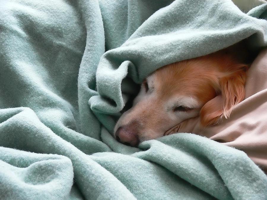 Golden Retriever Dog Under The Blanket Photograph