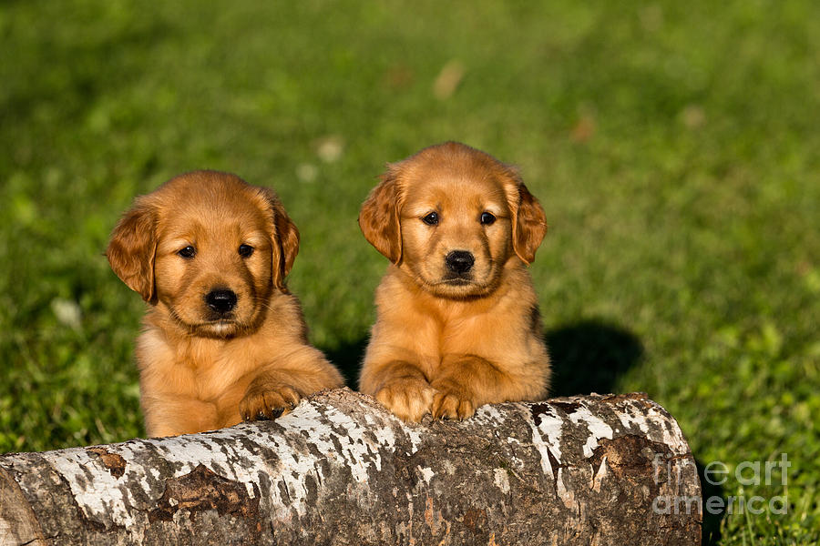 Golden Retriever Puppies Photograph