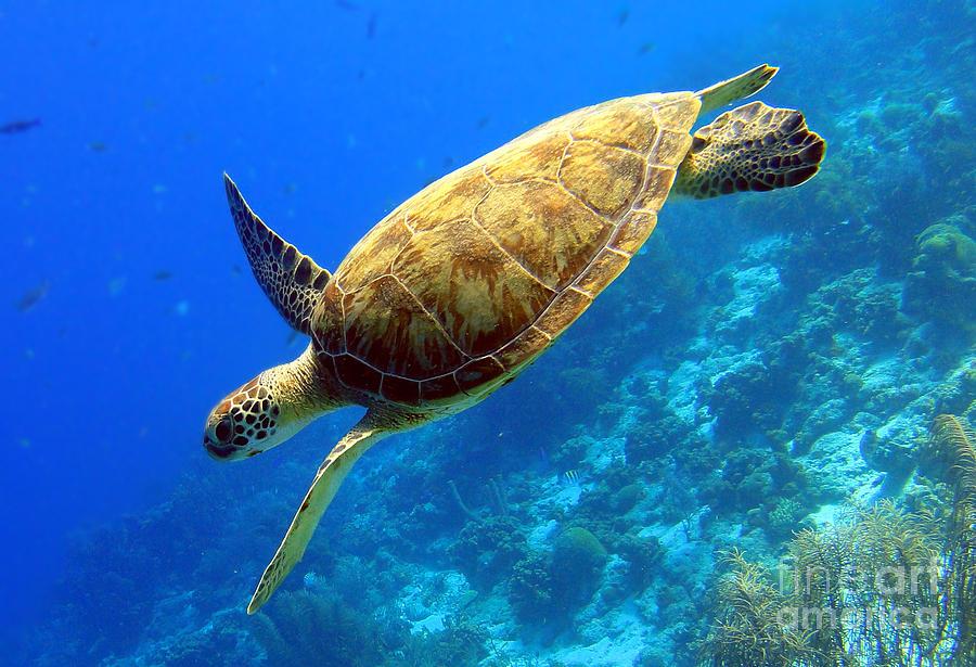 Green Sea Turtle Photograph