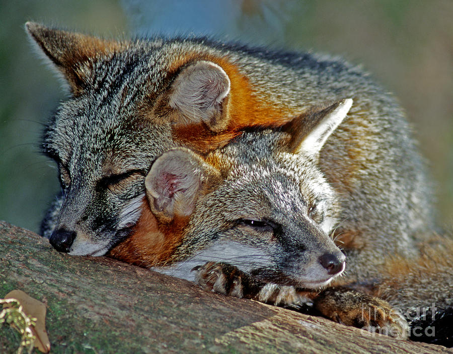 Grey Foxes Photograph