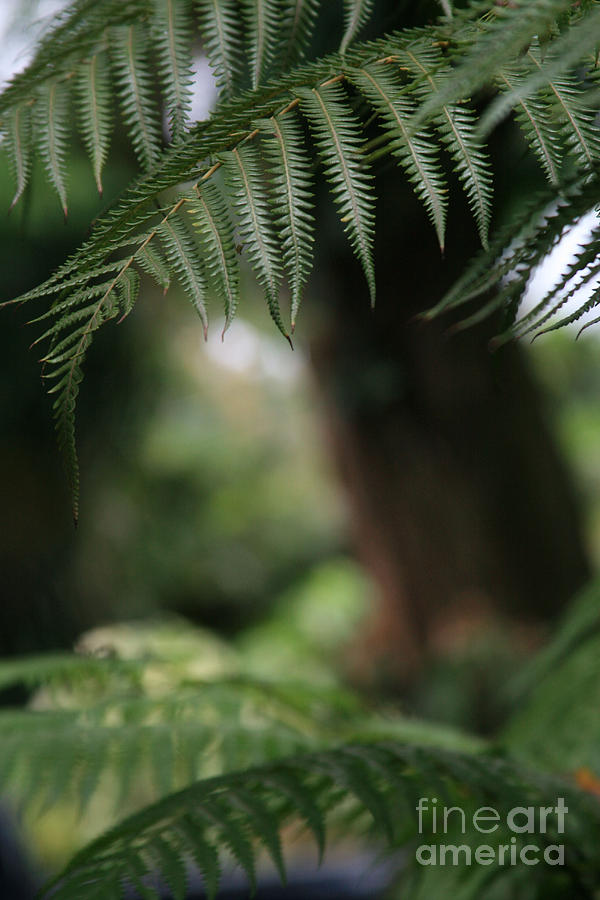 Hapuu Pulu - Hawaiian Tree Fern Photograph