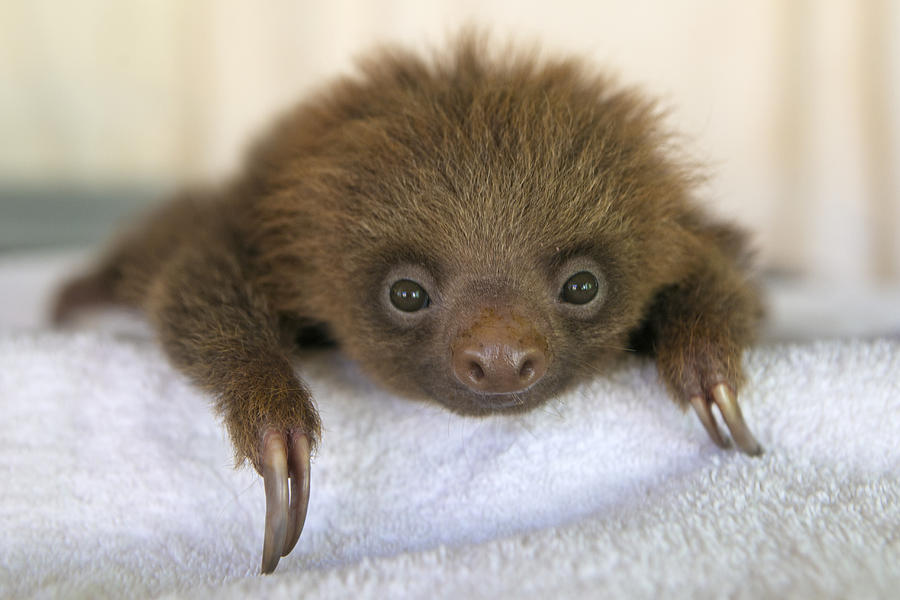 Hoffmanns Two Toed Sloth Orphan Photograph By Suzi Eszterhas