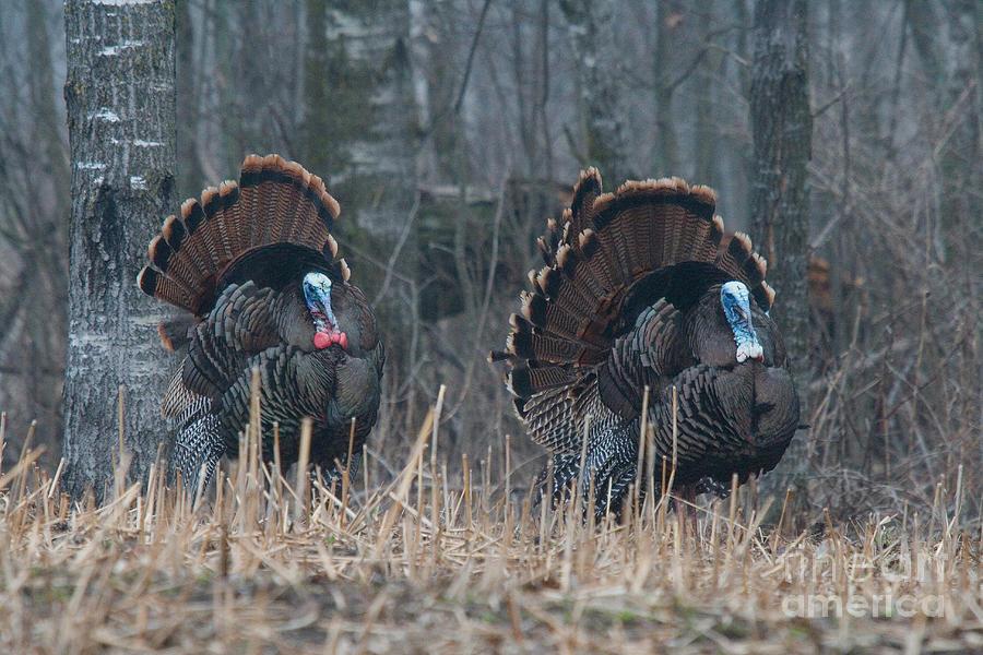 Jake Eastern Wild Turkeys Photograph