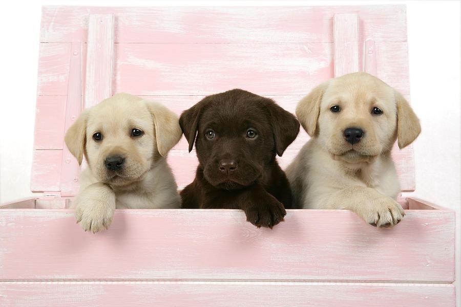Labrador Retriever Photograph - Labrador Retriever Puppies by John Daniels