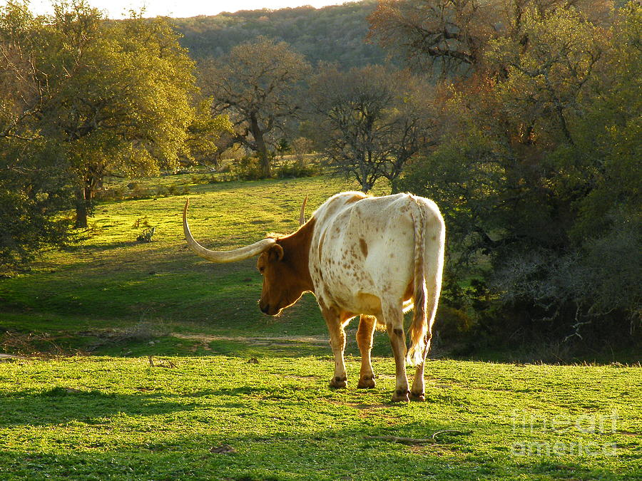 Longhorns Long Day Photograph  - Longhorns Long Day Fine Art Print