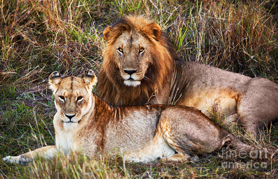 Male Lion And Female L...