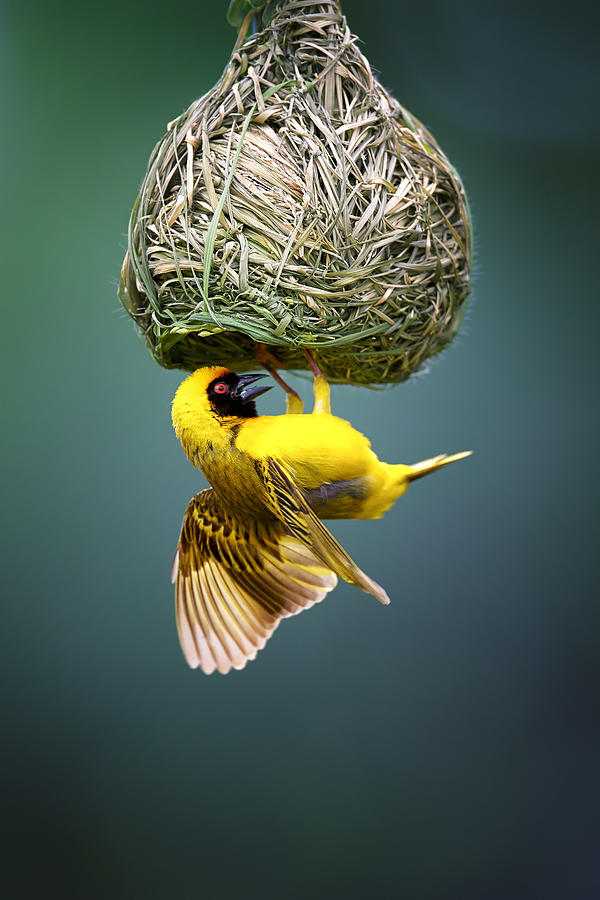 Masked Weaver At Nest Photograph