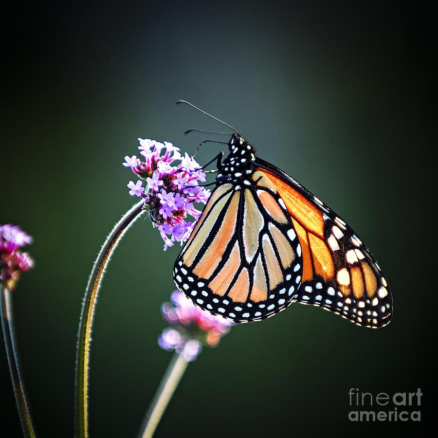 Butterfly Photograph - Monarch Butterfly by Elena Elisseeva