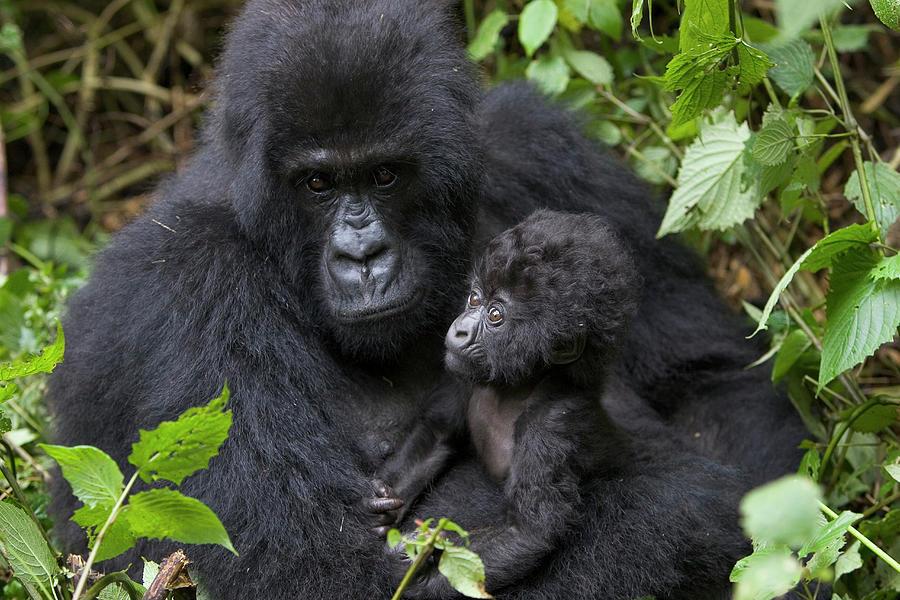 Mp Photograph - Mountain Gorilla And Infant by Suzi Eszterhas