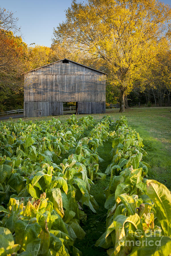 Old Tobacco Barn Photograph