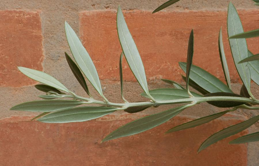 Olive Leaves Photograph  - Olive Leaves Fine Art Print