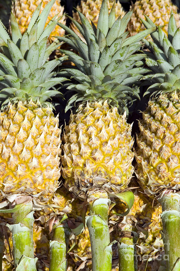 Organic Pineapple  Photograph  - Organic Pineapple  Fine Art Print