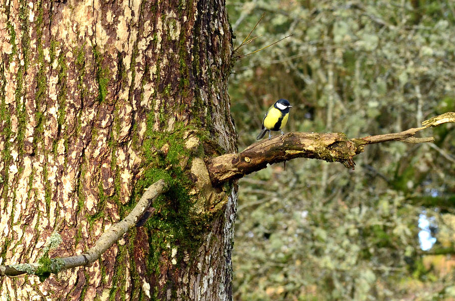 Parus Major Photograph  - Parus Major Fine Art Print