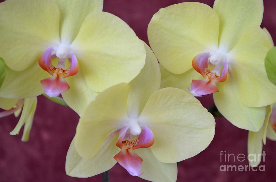 Phalaenopsis Fullers Sunset Orchid - No 2 Photograph