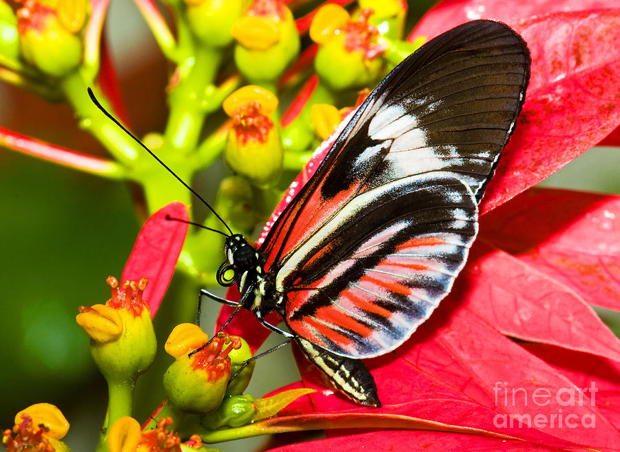 Tropical Butterfly Photograph - Piano Key Butterfly by Millard H. Sharp