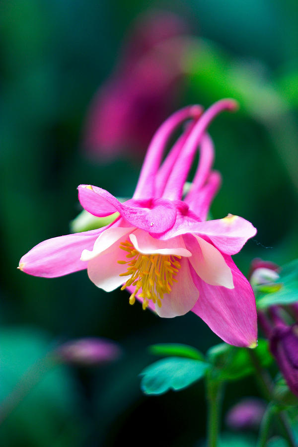 Pink And White Columbine Flower Photograph  - Pink And White Columbine Flower Fine Art Print