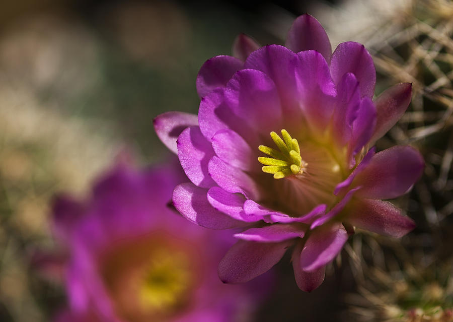 Pink Hedgehog Cactus is a photograph by Saija Lehtonen which was ...