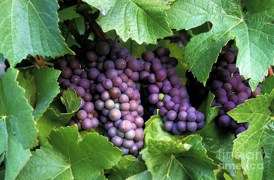 Pinot Gris Grapes Photograph
