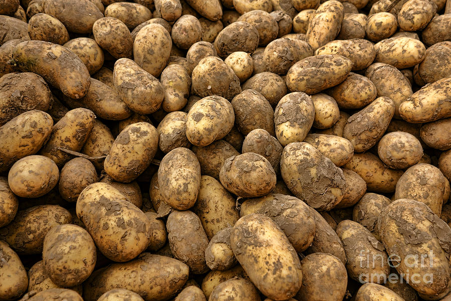 Potatoes Photograph  - Potatoes Fine Art Print