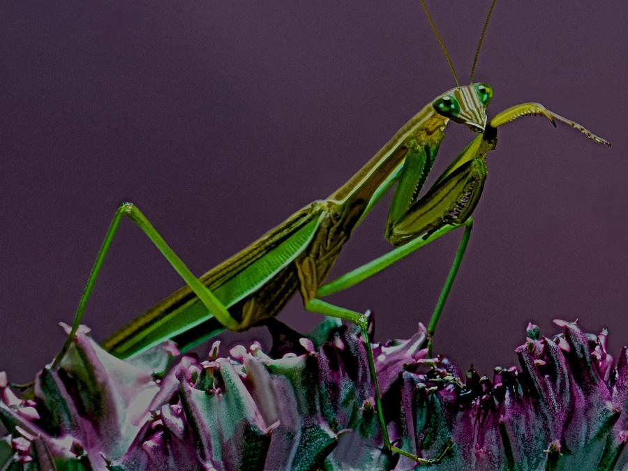 Praying Mantis Time For A Cleaning Photograph