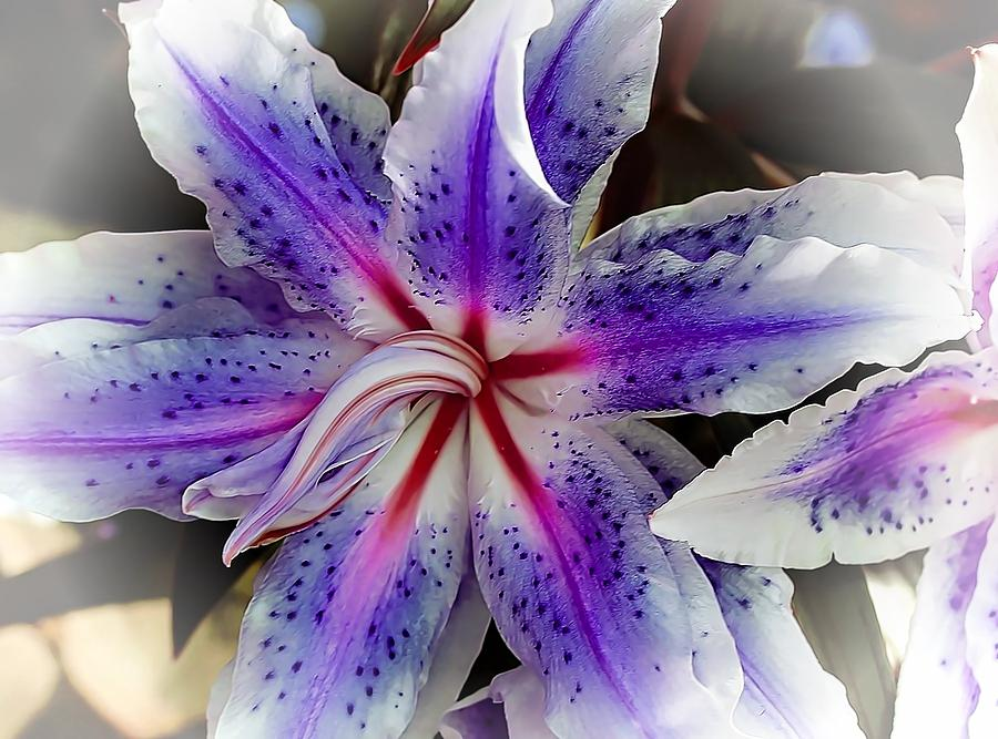 purple tiger lily flower