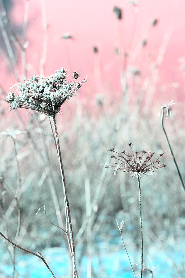 Queen Annes Lace Photograph  - Queen Annes Lace Fine Art Print
