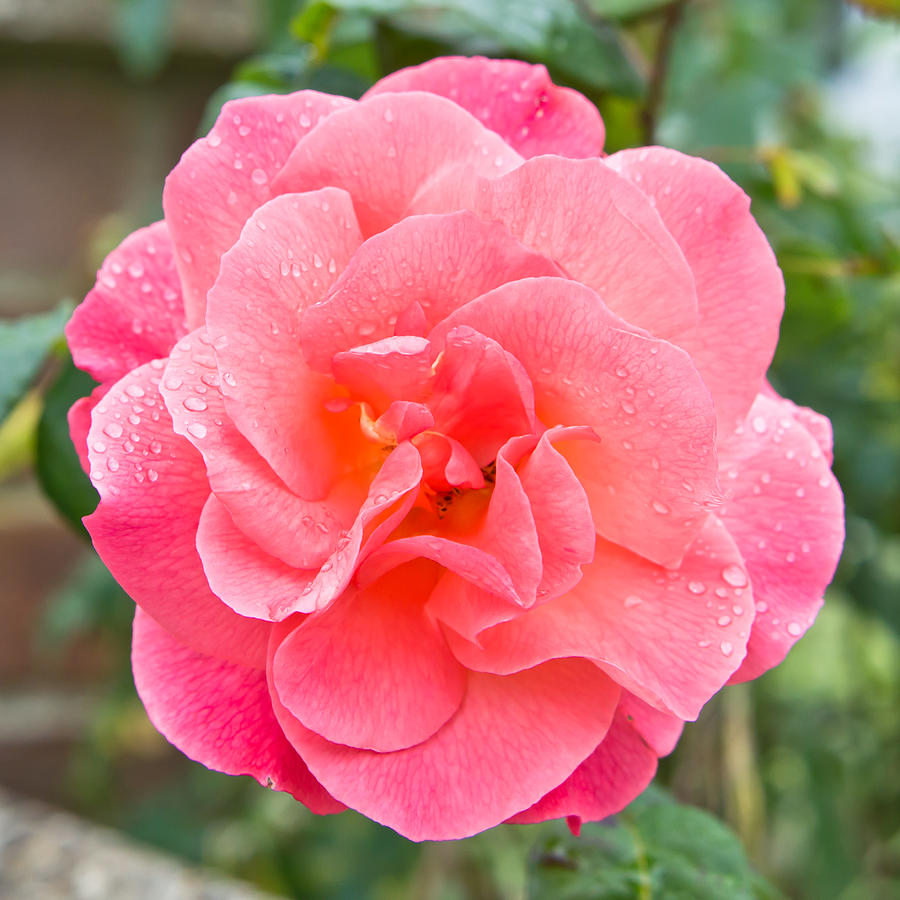 Background Photograph - Rose by Tom Gowanlock