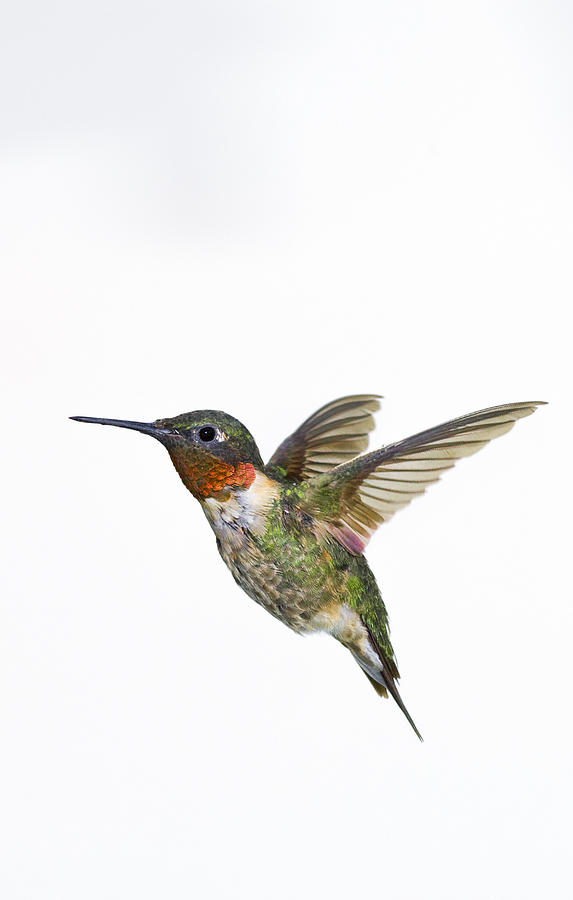 Ruby-throated Hummingbird Archilochus Photograph