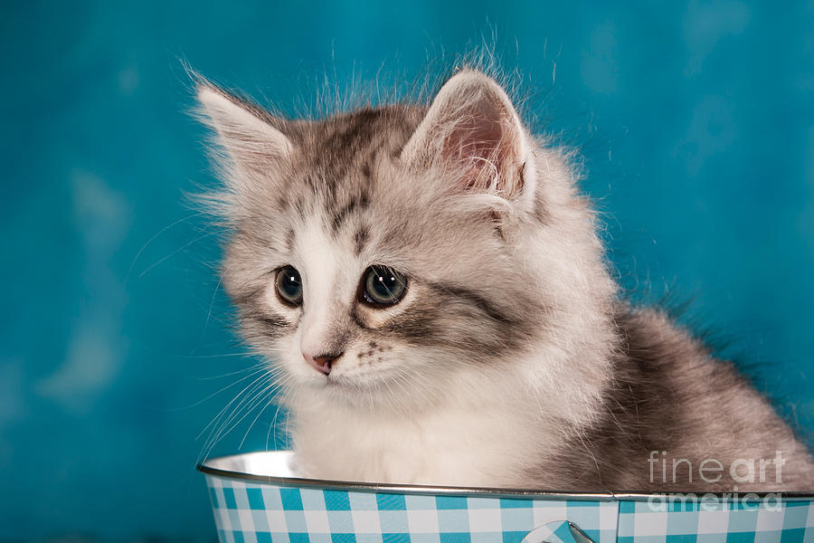 Sibirian Cat Kitten Photograph