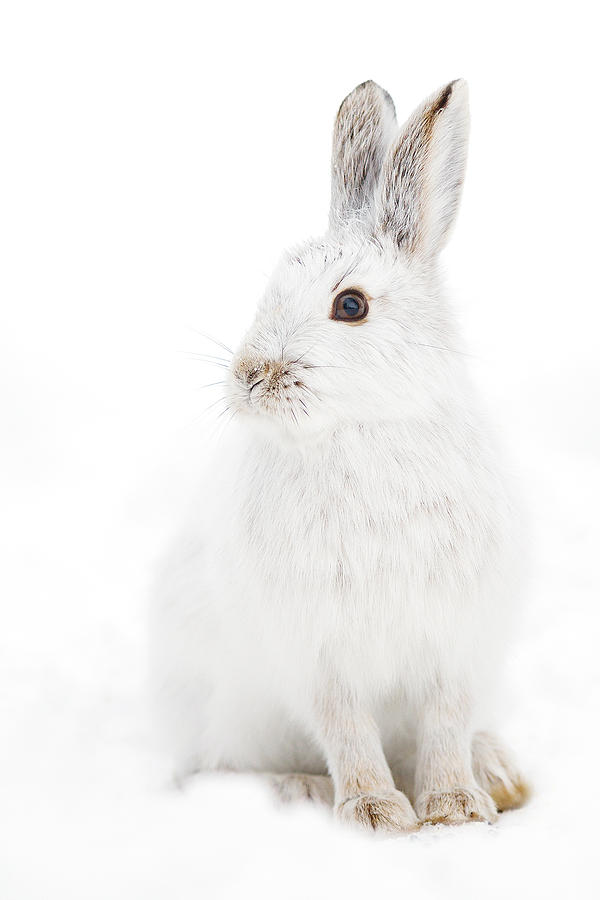 Snowshoe Hare Photograph
