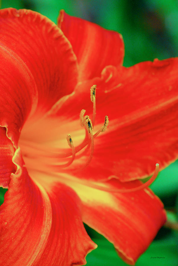 Red, Orange And Yellow Lily Digital Art